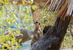 Meir Cats regarde quelque chose dans le zoo ouvert, Chonburi, photo libre de droits