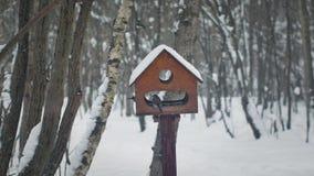 Meisen essen von den Zufuhren im Wald stock footage