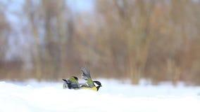Meisen im Schnee sammeln das Lebensmittel an einem Wintertag stock video