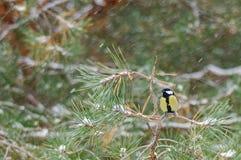 Meisevogel Stockfotografie