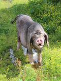 Meishan pig. George the charming meishan pig.  Rare breed originating from China Stock Photo
