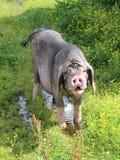 Meishan Schwein stockfoto