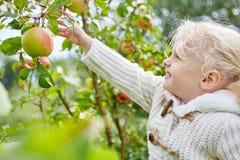 Meisje die appelen opnemen stock afbeeldingen