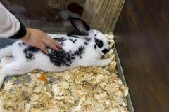 Meisje die een klein Engels bevlekt konijn strijken, dat in de kooi ligt royalty-vrije stock afbeelding