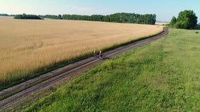 Meisje in een kleding met een kind die een fiets langs gebieden van tarwe berijden Het schieten met de hommel Mooi landschap van  stock video