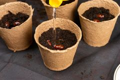 Meisje het water geven lychee chinensis zaden in turfpotten worden geplant voor het kweken van zaailingen die Groeiende zaailinge stock foto