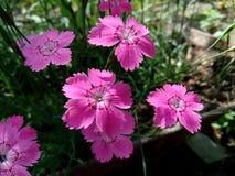 Meisje roze Dianthus deltoides Stock Afbeeldingen