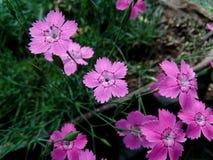 Meisje roze Dianthus deltoides Royalty-vrije Stock Afbeeldingen