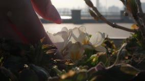 Meisjes` s hand wat betreft bloemenclose-up stock video