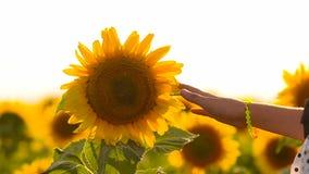 Meisjeshand wat betreft een bloemzonnebloem stock videobeelden