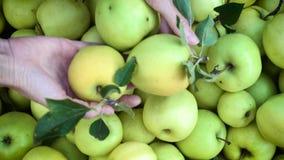 Meisjeshanden die een oogst van groene appelen stapelen in de dozen stock video