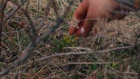 Meisjesscheuren van een kleine gele bloem stock videobeelden