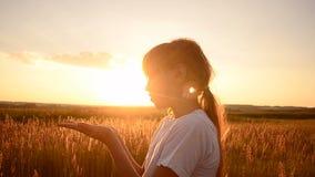 Meisjesslagen op tarwezaden op een zonsondergang stock footage