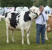 Meister-Holstein-Kuh stockfoto