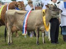 Meister-Jersey-Kuh Lizenzfreie Stockbilder