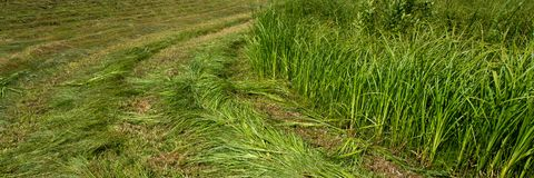 Meja ungt gräs i ängen Baner för design royaltyfria bilder