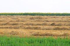 Mejat vete, solros och gräs Royaltyfri Foto