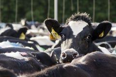 Mejeriindustri - ko som mjölkar lättheten Fotografering för Bildbyråer