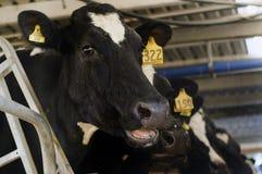 Mejeriindustri - ko som mjölkar lättheten arkivfoton