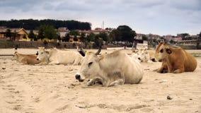 Mejerikor (Bostaurus) som vilar på stranden lager videofilmer