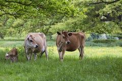 Mejerikor i fält med kalven Royaltyfri Fotografi
