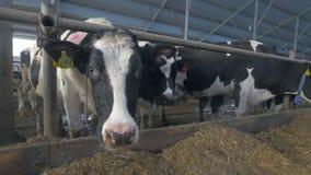 Mejerikor i ladugård som sniffar kameran Extrem sikt för closeupmyraöga lager videofilmer