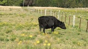 Mejerikor som betar blomninggräs på ett fält för lantgård` s lager videofilmer