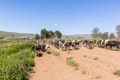 Mejerinötkreatur mjölkar går jordbruksmarker Arkivbilder