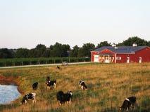 Mejerinötkreatur som framme betar av röd ladugård Royaltyfri Bild