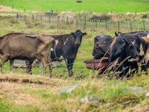 Mejerinötkreatur som matar på en lantgård i Nya Zeeland arkivbilder