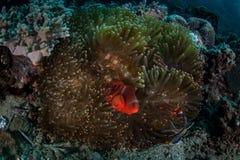 Mejilla Anemonefish de la espina dorsal Imagen de archivo libre de regalías