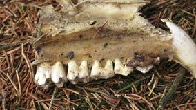 Mejilla con los dientes del animal en el bosque almacen de metraje de vídeo