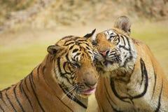 Mejillas de la frotación de los tigres Imagen de archivo