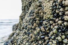 Mejillones azules en la playa de Annestown Imagenes de archivo