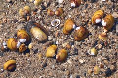 Mejillones de agua dulce foto de archivo libre de regalías