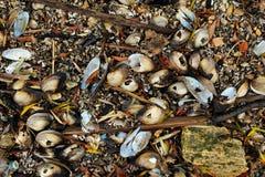 Mejillones de agua dulce, unionoida bivalvo acuático de los mulluscs foto de archivo libre de regalías