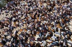Mejillones en Oregon, los E.E.U.U. Imagen de archivo