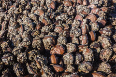 Mejillones Marine Life Exposed del océano Imagenes de archivo