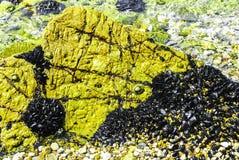 Mejillones negros salvajes en roca del mar fotos de archivo libres de regalías