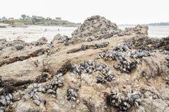 Mejillones salvajes en la naturaleza, en las rocas de la orilla foto de archivo