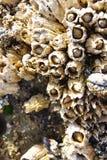 Mejillones y lapa Imagen de archivo