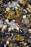 Mejillones y lapas con marea baja Foto de archivo