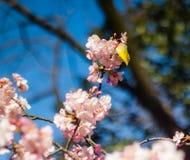 Mejiro σε ένα δέντρο δαμάσκηνων Στοκ Εικόνες