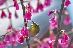 Mejiro, японская птица бело-глаза Стоковые Изображения RF