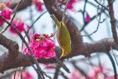 Mejiro, japoński oko ptak Obraz Stock
