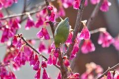 Mejiro, japoński oko ptak Obrazy Royalty Free