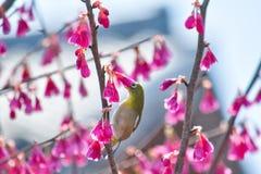 Mejiro, japoński oko ptak Zdjęcia Royalty Free