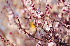 Mejiro on a twig of japanese apricot Stock Image
