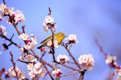 Mejiro on a twig of japanese apricot Royalty Free Stock Photography
