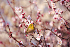 Mejiro on a twig of japanese apricot Royalty Free Stock Images